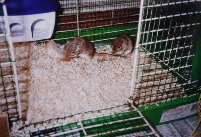 charmant petit couple de gerbille