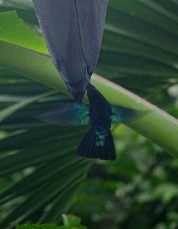 enfin reussi à prendre un colibris
