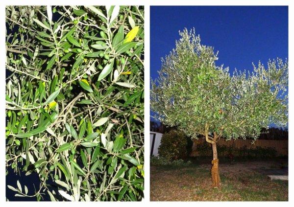 un bel olivier bien garni