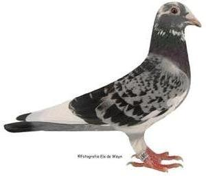 Pigeon N° 1