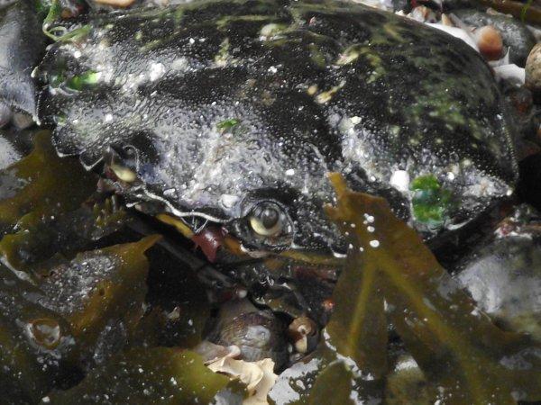 Amande, couteaux, huître, moule, crabe (Pléneuf-val-Andrée) 22