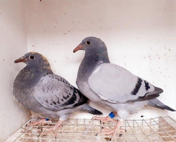 Frere et soeur 1er AS pigeon NationaL 100 300 km