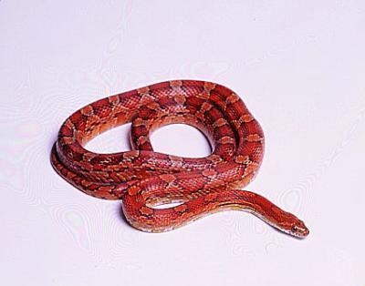 ELAPHE GUTTATA Serpent des blés - simplement moi