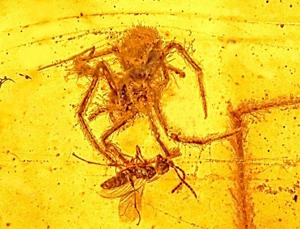 Une attaque d'araignée datant de 100 millions d'années retrouvée dans de l'ambre