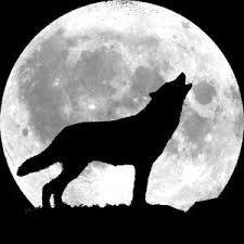 le loup est mon animal sauvage préféré