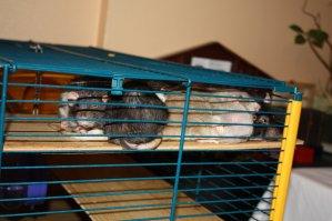 On remarque trop de choses dans mon tas de rats :'(