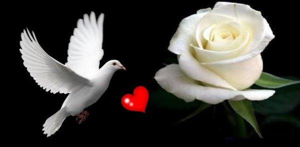belle photo j'ador  les roses blanche