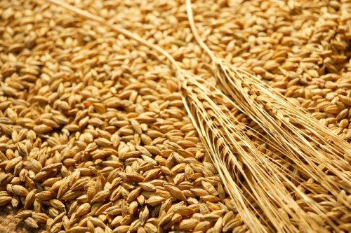 Grain de blé ( Michaël ) mykemusik (2012)