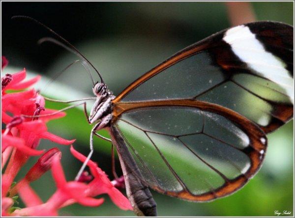 Drôle de bébette (WTF?) :   Greta Oto ,le papillion aux ailes transparentes