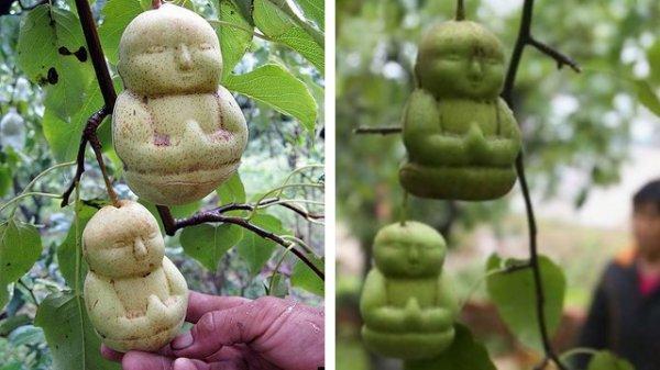 """Insolite : Les poires """"  Bouddha"""""""