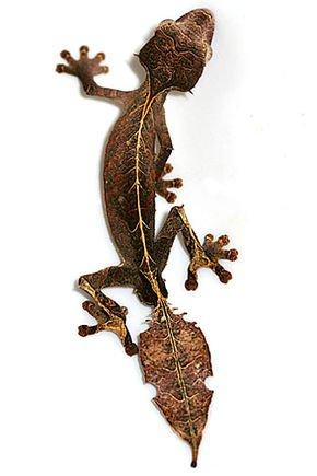 Drôle de bébette ! :  Le gecko satanique à queue de feuille  (Uroplatus phantasticus)