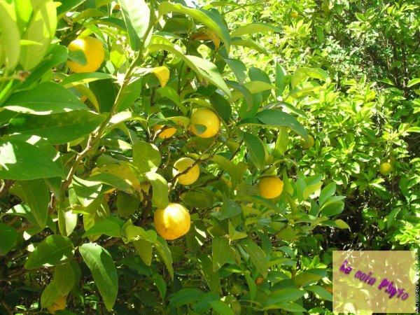 Le coin Phyto : Le citron