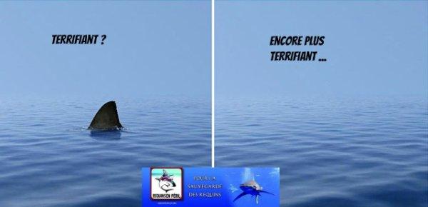 6 Trucs a savoir sur les Requins   :