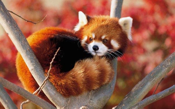 Drole de bebette :   Le Panda Roux