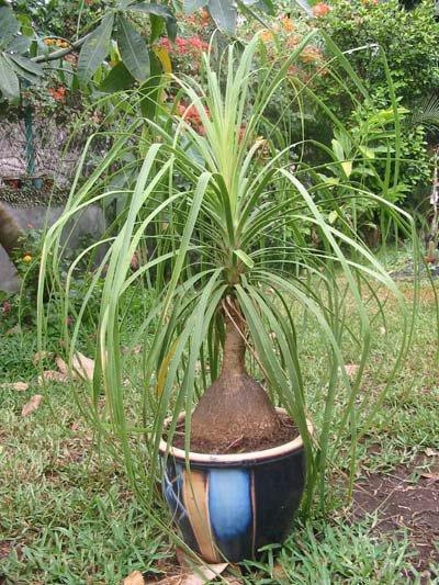 Phythotherapie  :  Le beaucarnéa   ( la plante anti-toxicité )