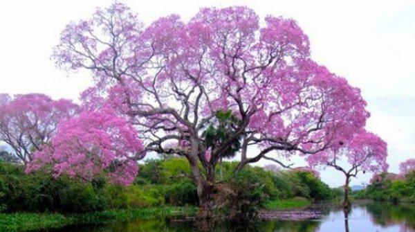 Phythotherapie  :  Le Lapacho