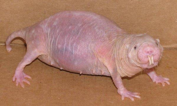 Drole de bebette  ( wtf ) :    Le rat-taupe nu