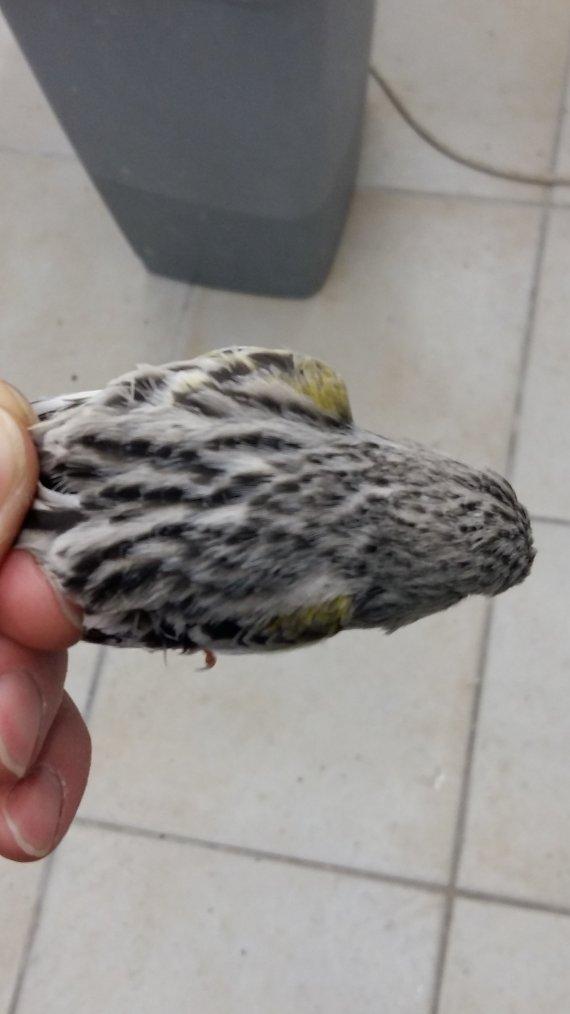 nouveaux venus chez moi male topaze , femelle agate porteuse et un hoso blanc noté 92 a almeria