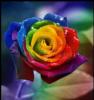 Les couleurs des roses