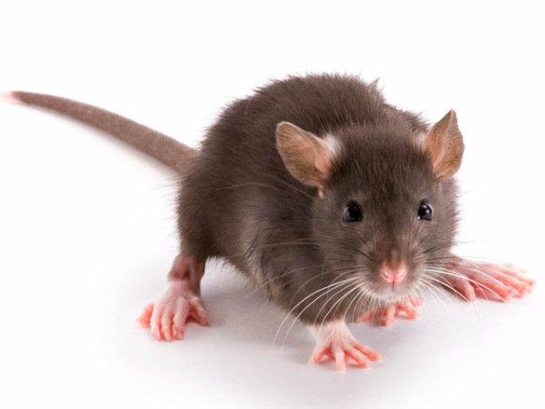Des Beaux Rats !