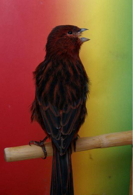Negro rojo intenso