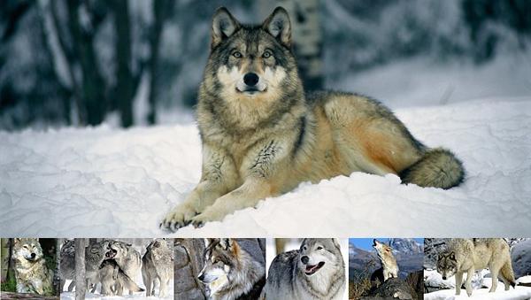 Animal n°2 :L E___L O U P __ G R I S