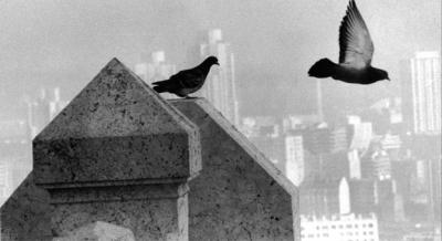 pigeon vol