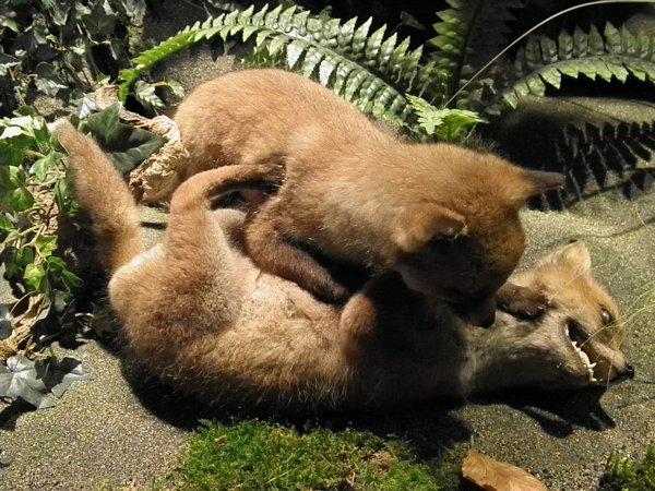 Famille renard / maison de la forêt