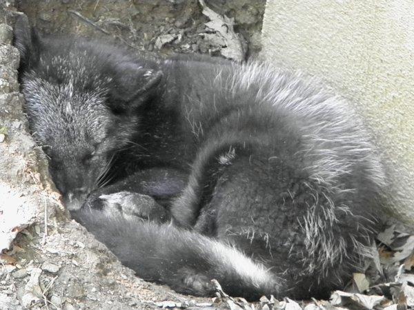 Foxy roux et polaire (Parc animalier des Pyrénées)