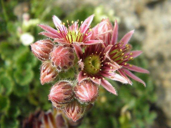 Fleur de montagne : la joubarbe
