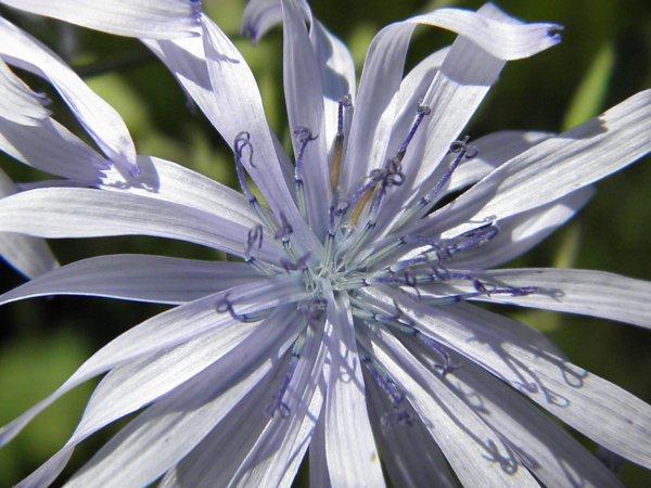 fleur de montagne : la Laitue de Plumier