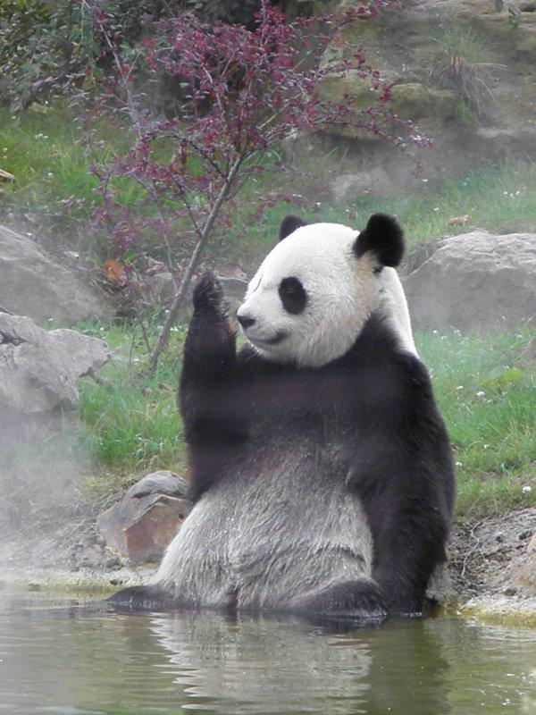 Panda, la mode est au zen