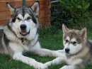 Photo de SweetHeartMalamutes