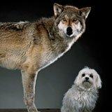 Attention chiens gentils !  Dmitry Belyaev