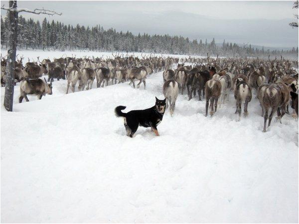 Le lapinporokoïra  (ou berger finnois de laponie) ...