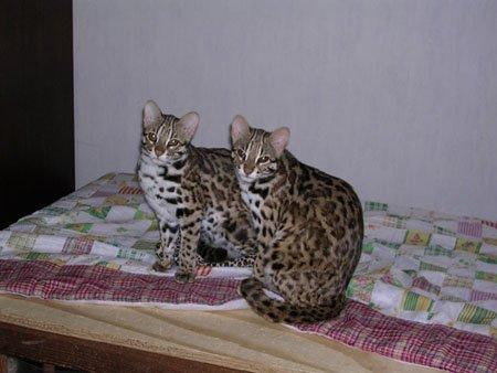 Felis Bengalensis = Léopard d'Asie