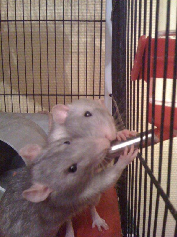 MA PETITE TRIBU : mes rats !