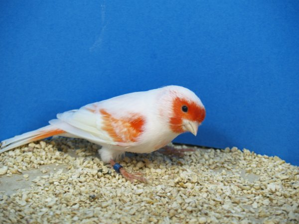 macho canario rojo mosaico 2011