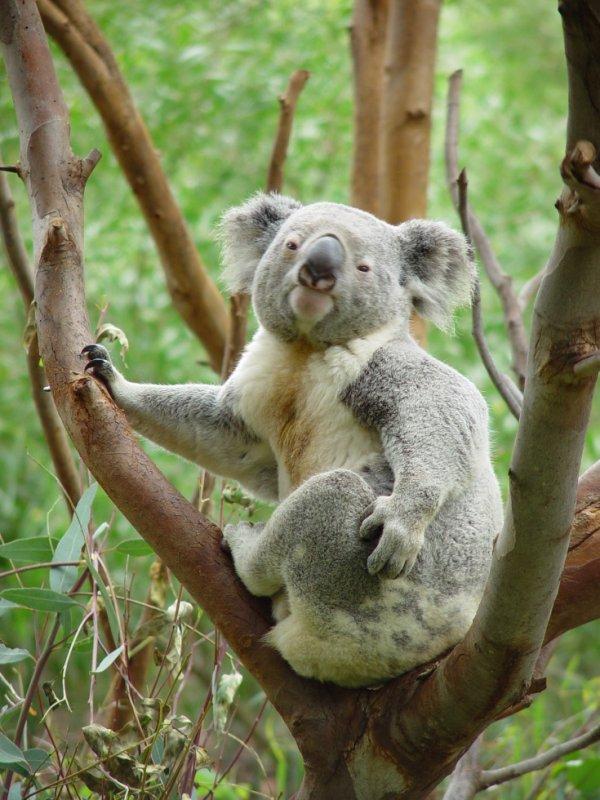 #Faune: Le Koala