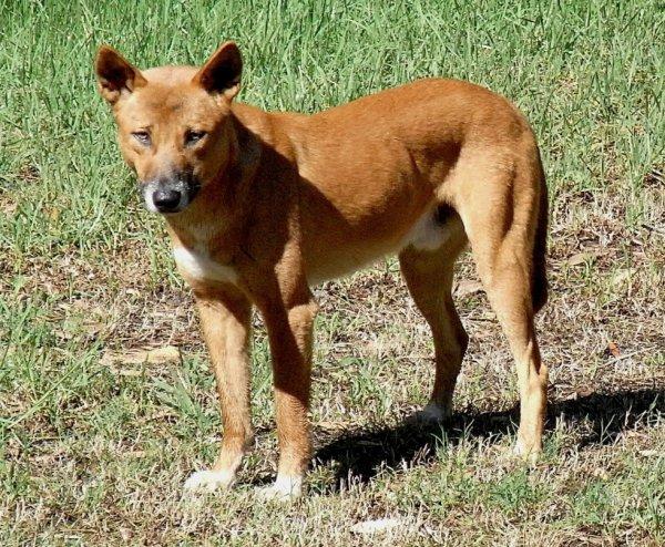 #Faune : Le Dingo