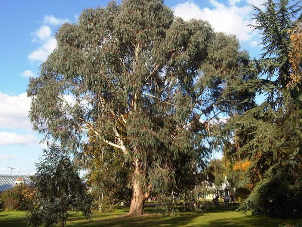 #Flore : L'Eucalyptus