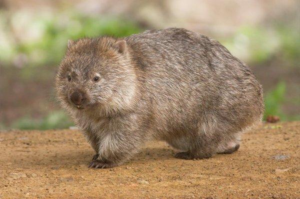 #Faune Indigène : Le Wombat