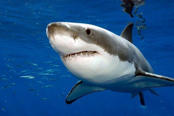#Actu : La Seconde Attaque Mortelle De Requin De La Semaine