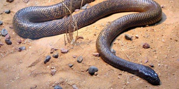 🎃 #Hallo'Month : 10 #Carte D'Identité : Le Serpent Taïpan 👻