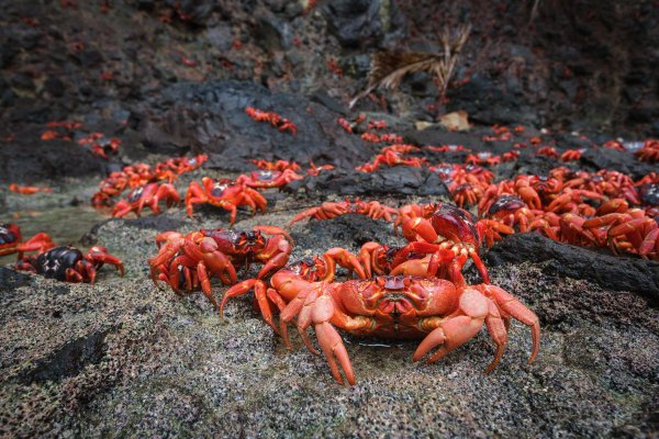 #Actu : 12 #Migration Des Crabes sur Christmas Island