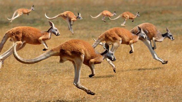 #Carte d'Identité #Kangourou roux