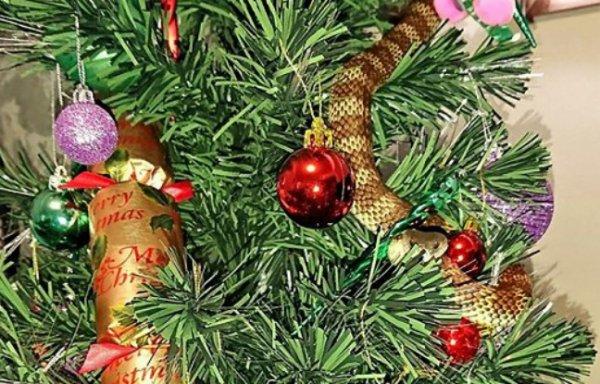 #Noël En Australie #Actu : Un serpent en guise de guirlande