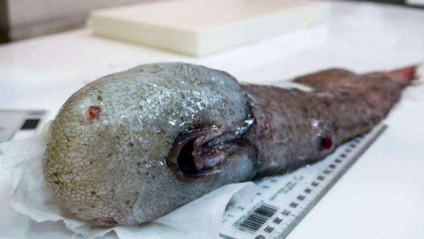 ► Actu : Un Poisson Sans Visage Pêché En Australie #Summer Time 2