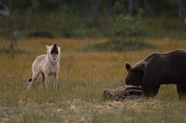 Loup et Ours
