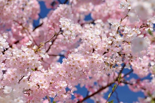 Cerisiers /printemps 2017/cerisiers du Japon